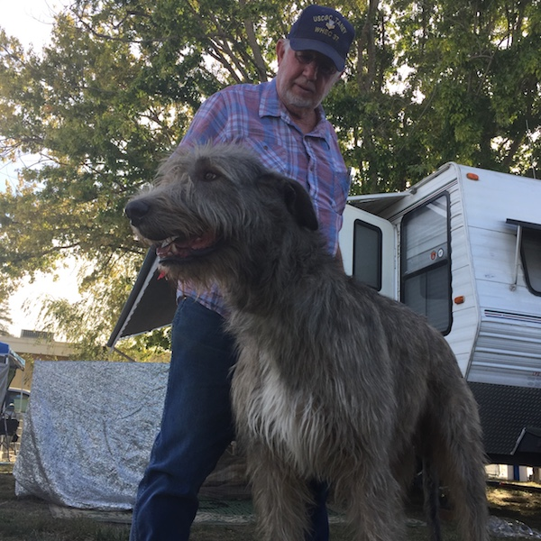 Wolfhounds in Petaluma